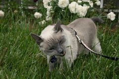 Cat Eating Grass. Blue Point siamese cat eating grass in a park while on walk Stock Photo