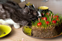 Cat eating grass cake. A gray and white cat eating a cake made from ground, grass and cherry tomatoes Royalty Free Stock Image