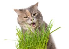 Cat eating cat grass Royalty Free Stock Images