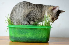 Cat  eating  grass Stock Photos