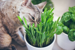 Pet grass, Cat grass. Cat is eating a cat grass Royalty Free Stock Images