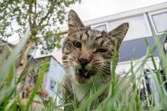 Cat eating grass stock image
