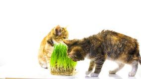 Cat eating grass Stock Photos