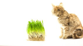 Cat eating grass Stock Photography