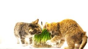 Cat eating grass Royalty Free Stock Photos