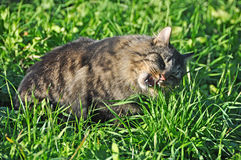 Cat eating grass Royalty Free Stock Images
