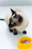 Cat eating pet food Royalty Free Stock Image