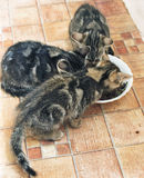 Cat eating. Three lovely cats eating together Royalty Free Stock Images
