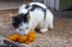 Cat Eating Uncooked Vegetable photo stock