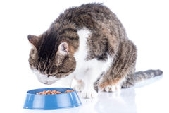 Cat eating wet food. Tabby white cat eating wet food stock image