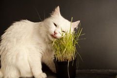 Cat eating wheat grass Stock Photo