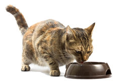 Cat is feeding from a bowl Stock Images