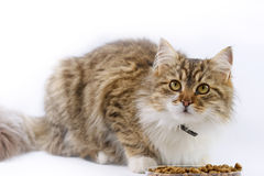 Cat eats. Beautiful Maine Coon - cat eats royalty free stock photo
