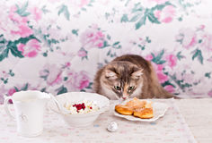 The cat eats breakfast. Cookies, cottage cheese and milk. Country breakfast on the table. Cat Thief. Royalty Free Stock Image