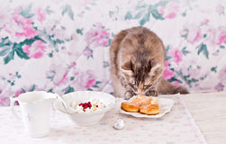 The cat eats breakfast. Cookies, cottage cheese and milk. Country breakfast on the table. Cat Thief. Stock Photography