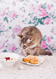 The cat eats breakfast. Cookies, cottage cheese and milk. Country breakfast on the table. Cat Thief. Stock Photo