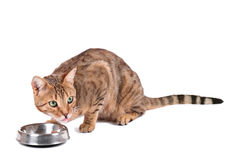 Cat eats Royalty Free Stock Photography