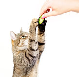 The cat eats a cucumber Stock Image