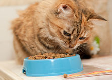 Cat eats dry cat food. Tabby Cat eats dry cat food from blue bowl stock image