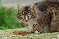 Cat eats dry food, Cat looking. With green eyes Stock Photos