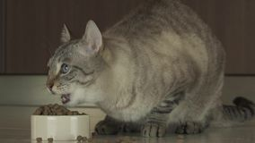 Cat eats dry food slow motion stock footage video stock footage