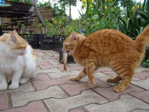 Cat eats the fish Royalty Free Stock Photo