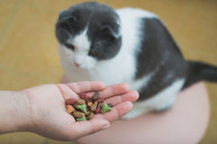 The cat eats the food from the owner`s hand Stock Image