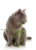 The cat eats a grass Royalty Free Stock Photography