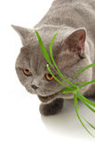 The cat eats a grass Royalty Free Stock Images