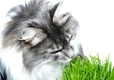 Cat eats  grass. Cat on  white background eats  grass Royalty Free Stock Photography