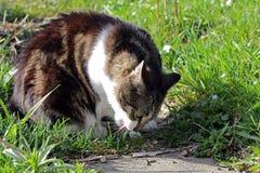 Cat eats grass. A cat eats grass as a digestive aid Stock Photo