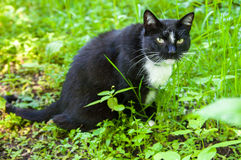 Cat eats grass Royalty Free Stock Images