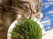 Cat eats grass Royalty Free Stock Photography