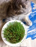 Cat eats grass Royalty Free Stock Photo