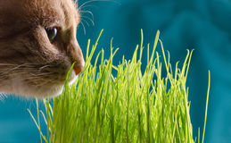 Cat eats grass Royalty Free Stock Photos