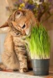 Cat eats green grass Royalty Free Stock Image