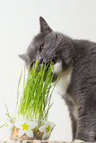 Cat eats green shoots Stock Image