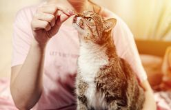 Cat eats from hands of girl royalty free stock photo