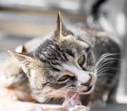 Cat eats meat on nature. In the park in nature Stock Image