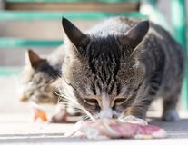 Cat eats meat on nature. In the park in nature Stock Photo
