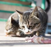 Cat eats meat on nature. In the park in nature Royalty Free Stock Photos