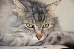 Cat Efim Stock Photos