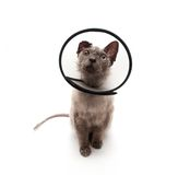 Cat in elizabethan collar looking up. Cat in elizabethan collar on white background Stock Image