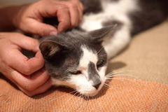 Cat enjoying being petted. Black and white spotted cat enjoying being petted Stock Photo