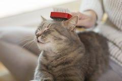 Cat enjoying combing Stock Image
