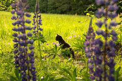 Cat enjoying. The sun on a beautiful early summer day.Lupines in the foreground Stock Photos