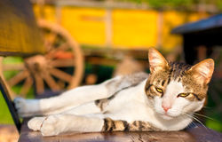 Cat enjoying sunlight. Domestic or pet cat  lying  on a wooden bench Royalty Free Stock Photography