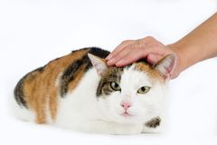 Cat enjoys being stroked Royalty Free Stock Image