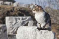 Cat in Ephesus Royalty Free Stock Image