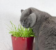 Cat esting grass Stock Images